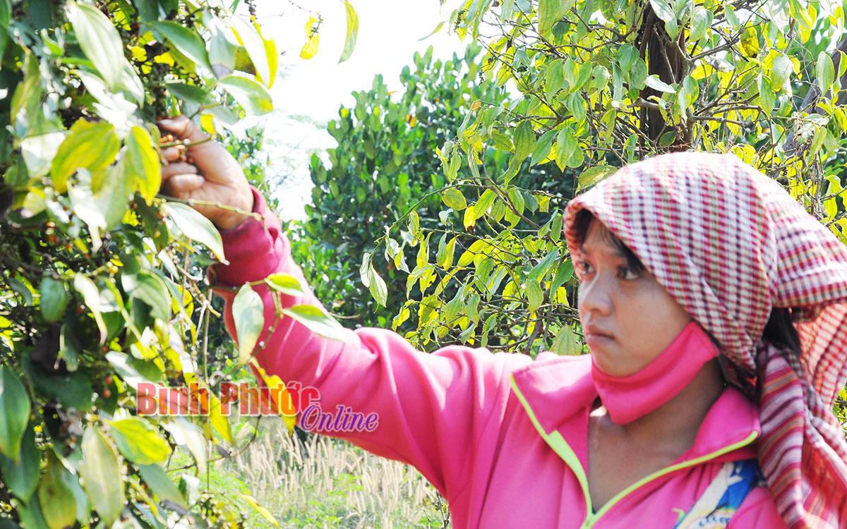 Nông nghiệp Bình Phước chọn 3 ngành trọng điểm để phát triển